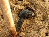 Mexico, Projects Abroad in Mexico - Hatchling at Tecoman Turtle Camp